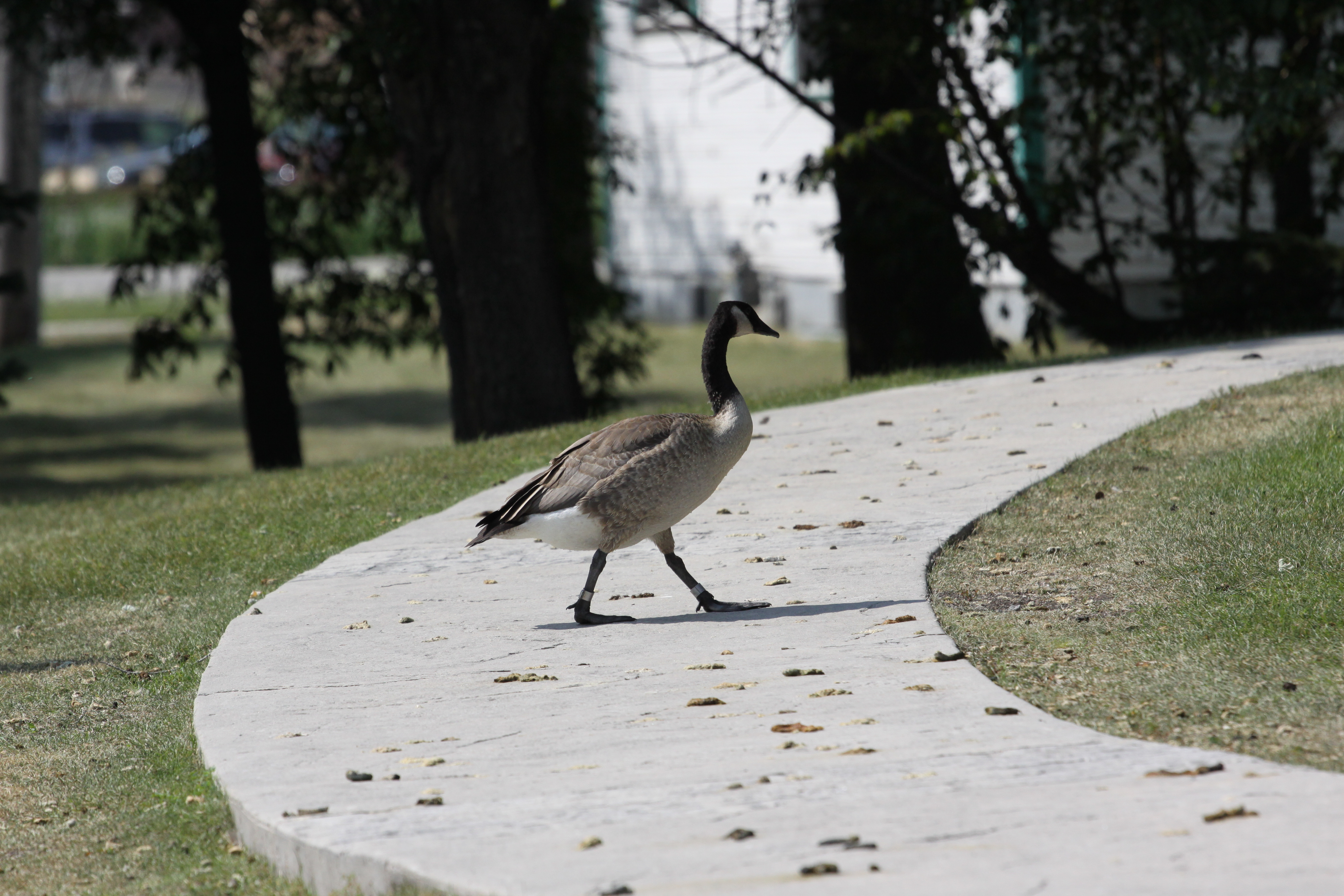 canada geese in urban environments