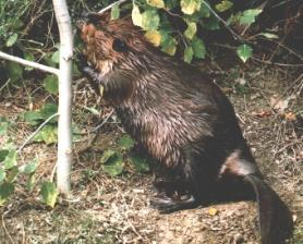 Beaver Damage - Naturalist Services - Parks and Open Space ...